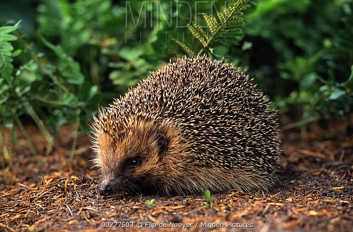 Brown-breasted Hedgehog (Erinaceus europaeus) adult, Europe  -  Flip de Nooyer