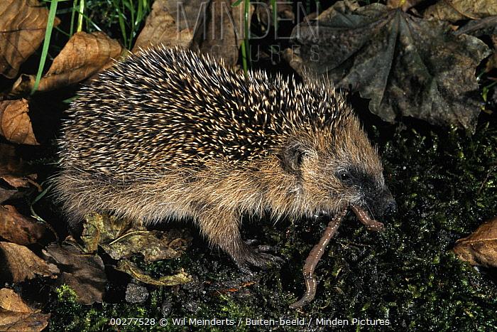 Brown-breasted Hedgehog (Erinaceus europaeus) eating an earthworm, Europe  -  Wil Meinderts/ Buiten-beeld