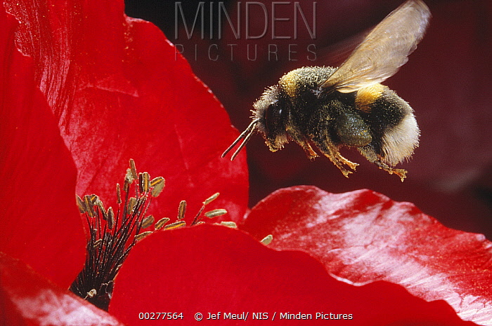 Buff-tailed Bumblebee (Bombus terrestris) landing in red flower to collect pollen, Europe  -  Jef Meul/ NIS