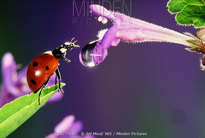 Seven-spotted Ladybird (Coccinella septempunctata) climbing from a leaf onto a flower with a dew drop in it, Europe  -  Jef Meul/ NIS