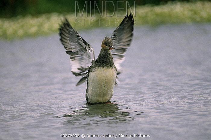 Red-breasted Merganser (Mergus serrator) flapping its wings, Europe  -  Duncan Usher