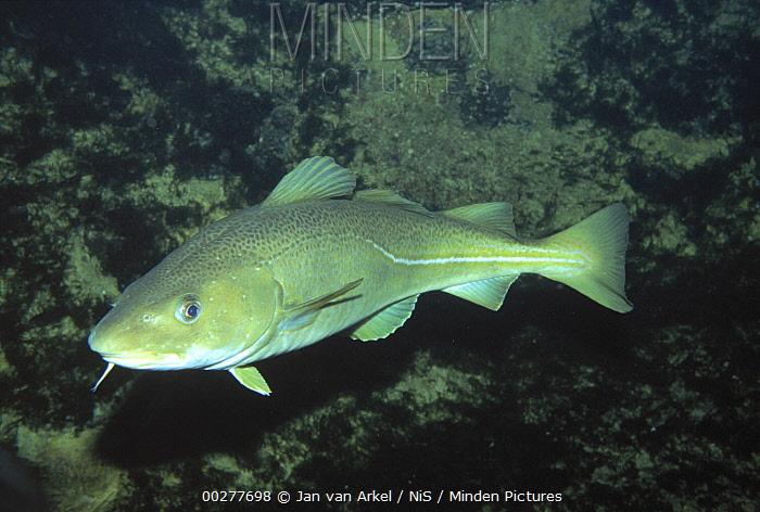 Atlantic Cod (Gadus morhua) swimming showing prominent barbule on lower lip, widely fished in Atlantic Ocean for human consumption, Europe  -  Jan van Arkel/ NiS