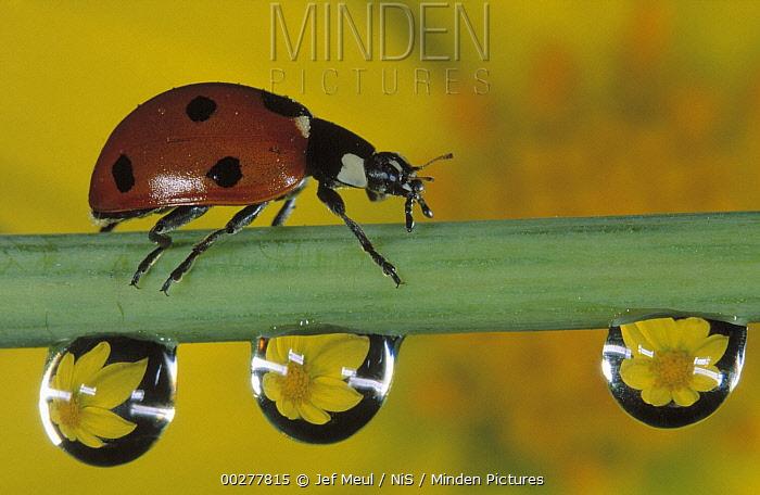 Seven-spotted Ladybird (Coccinella septempunctata) walks along stem with water drops, Europe  -  Jef Meul/ NIS
