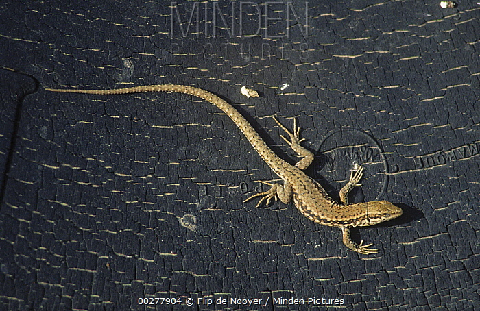 Common Wall Lizard (Podarcis muralis) on tree bark, Europe  -  Flip de Nooyer