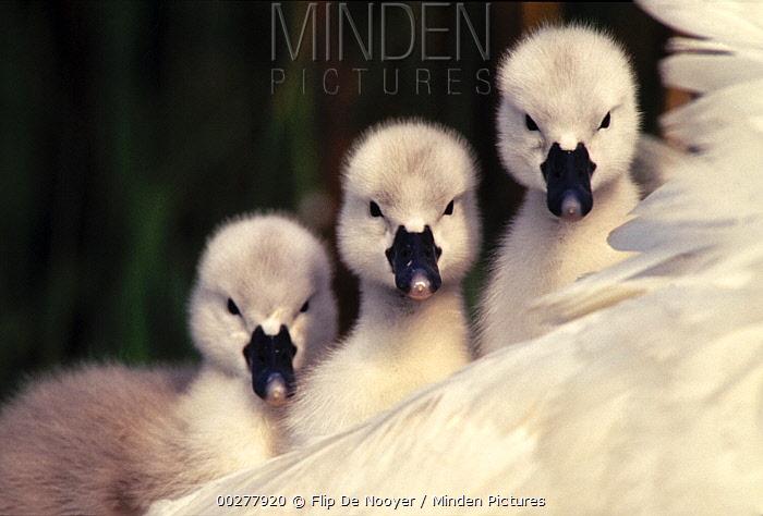Mute Swan (Cygnus olor) three cygnets on parent's back, Europe  -  Flip de Nooyer