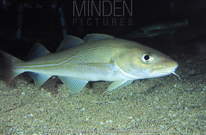 Atlantic Cod (Gadus morhua) portrait, side view, underwater, Europe  -  Wil Meinderts/ Buiten-beeld