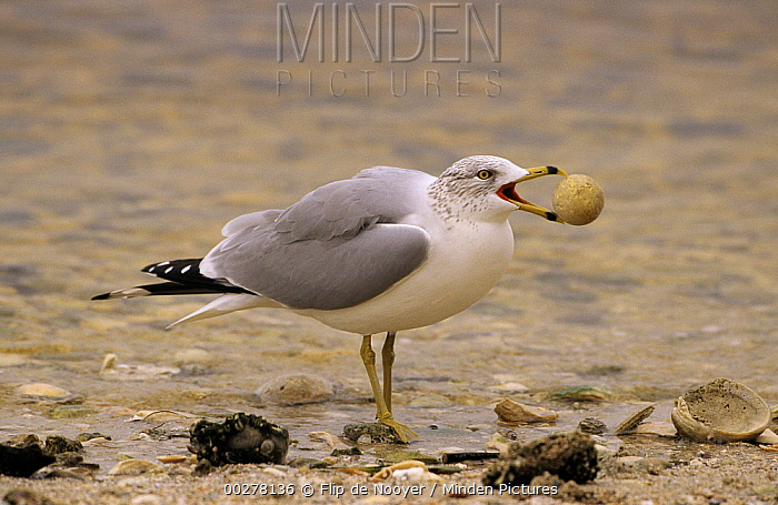 Ring-billed Gull (Larus delawarensis) foraging trash on beach, North America  -  Flip de Nooyer