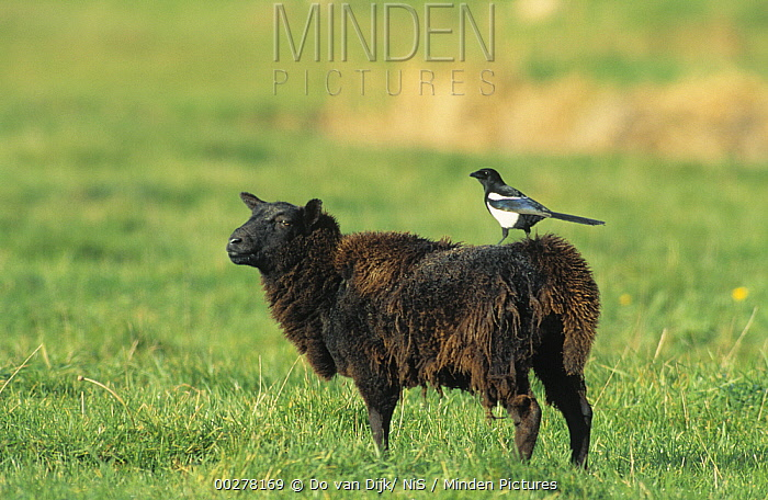 Black-billed Magpie (Pica pica) perching on sheep to get a better view to feed on parasites, Europe  -  Do van Dijk/ NiS
