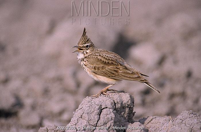 Crested Lark (Galerida cristata) calling, Europe  -  Duncan Usher