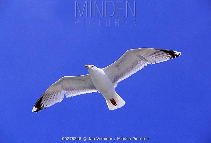 Herring Gull (Larus argentatus) flying, Europe  -  Jan Vermeer