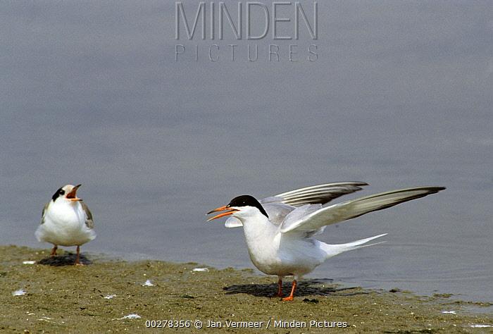 Common Tern (Sterna hirundo) pair interacting, Europe  -  Jan Vermeer