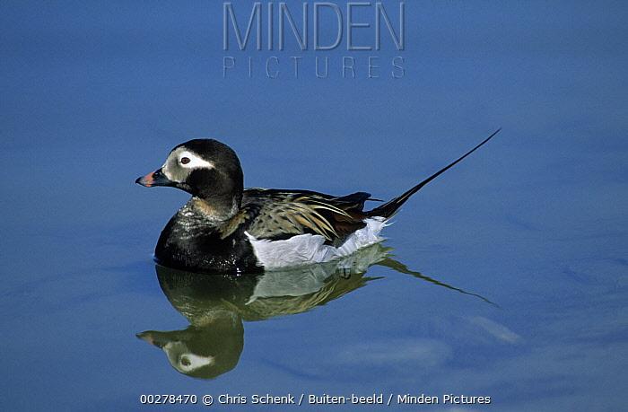 Long-tailed Duck (Clangula hyemalis) male in summer plumage, Siberia  -  Chris Schenk/ Buiten-beeld