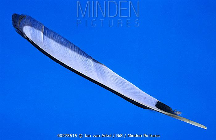 Black-billed Magpie (Pica pica) flight feather showing shaft and vane, Europe  -  Jan van Arkel/ NiS