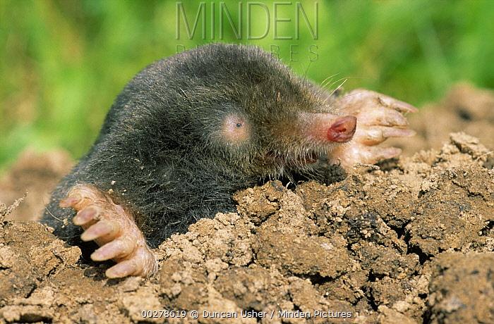 European Mole (Talpa europaea) emerging from mound, Europe  -  Duncan Usher