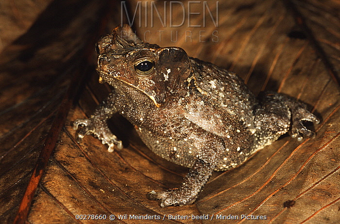 Leaf Litter Toad (Bufo typhonius) camouflaged among leaves on forest floor, Iwokrama Rainforest Reserve, Guyana  -  Wil Meinderts/ Buiten-beeld