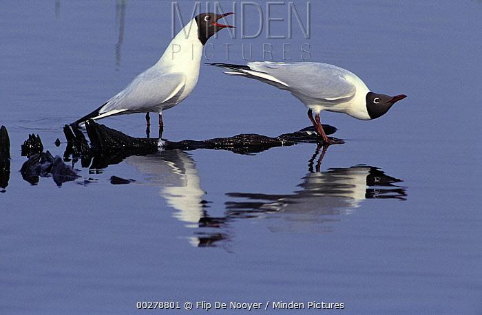 Black-headed Gull (Chroicocephalus ridibundus) pair courting, Europe  -  Flip de Nooyer