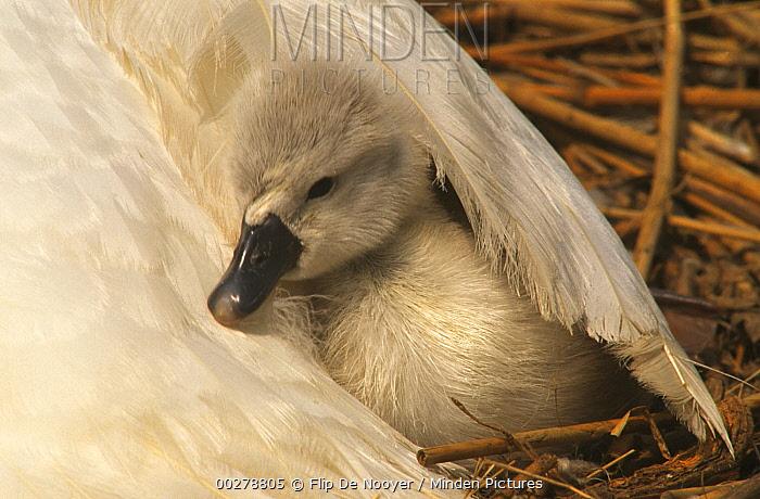 Mute Swan (Cygnus olor) cygnet under parent's wing, Europe  -  Flip de Nooyer