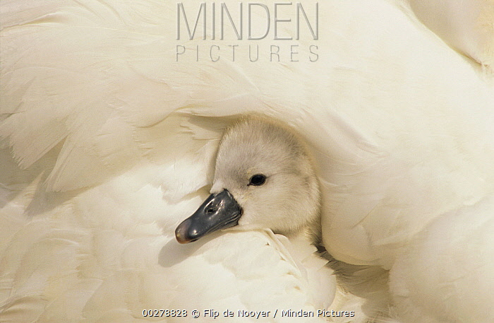 Mute Swan (Cygnus olor) cygnet under its parent's wing, Europe  -  Flip de Nooyer