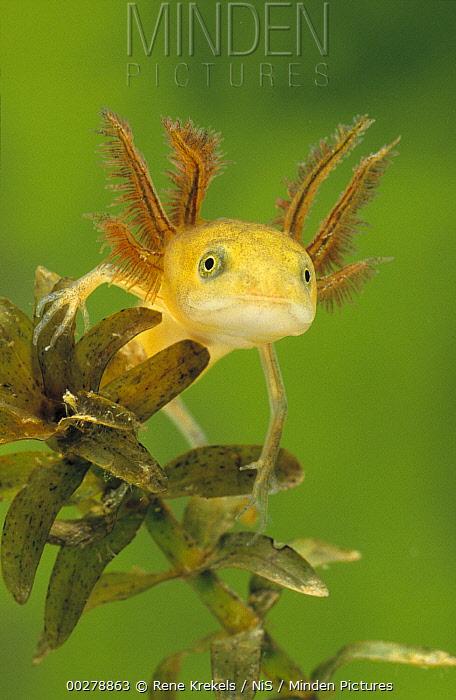 Great Crested Newt (Triturus cristatus) larva, underwater, western Europe  -  Rene Krekels/ NIS
