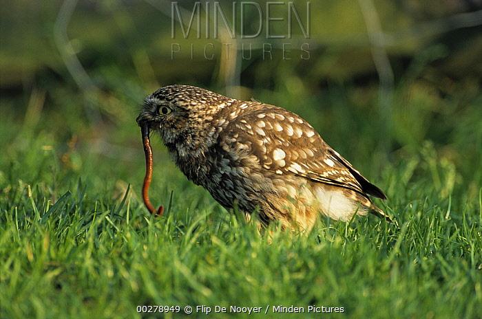 Little Owl (Athene noctua) catching earthworm in field, Europe  -  Flip de Nooyer