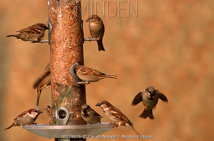 House Sparrow (Passer domesticus) group feeding from a bird feeder showing possible mold that can kill birds if left unchecked, Europe  -  Flip de Nooyer