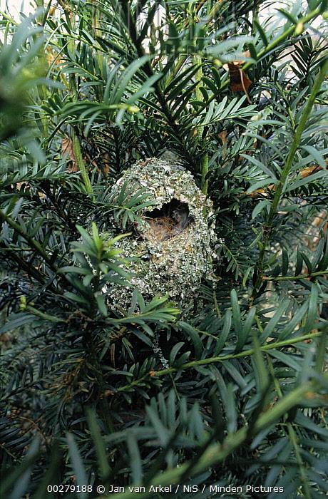 Long-tailed Tit (Aegithalos caudatus) nest, Europe  -  Jan van Arkel/ NiS