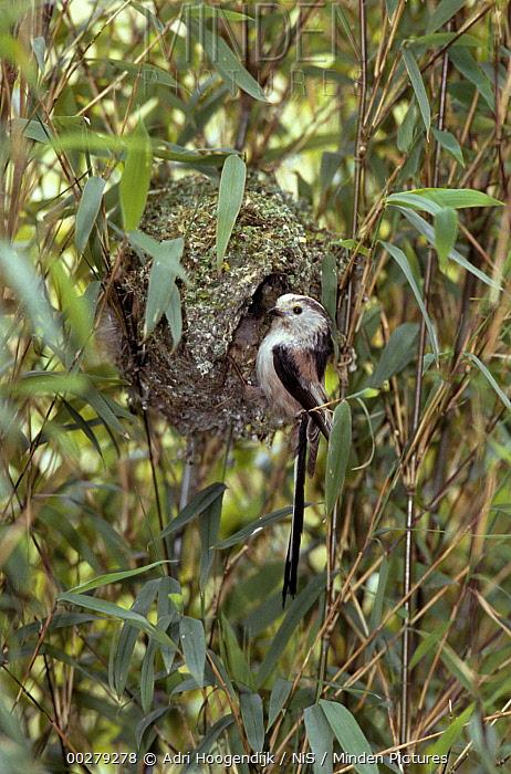 Long-tailed Tit (Aegithalos caudatus) male at nest entrance, Europe  -  Adri Hoogendijk/ Buiten-beeld