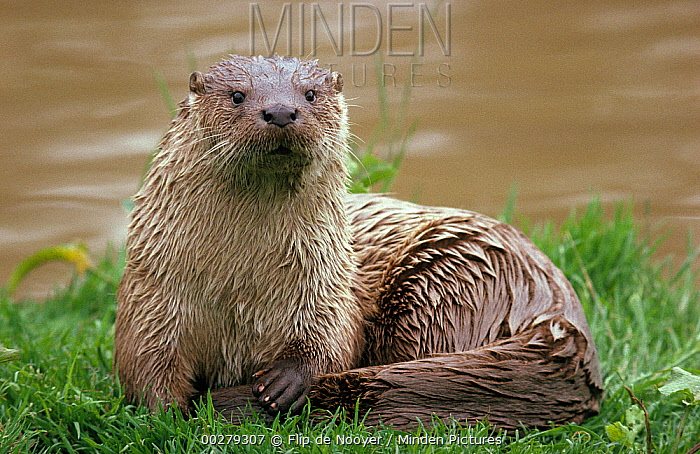 European River Otter (Lutra lutra) resting on riverbank, Europe  -  Flip de Nooyer
