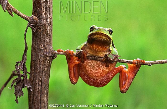 European Tree Frog (Hyla arborea) hanging on plant, Europe  -  Jan Vermeer
