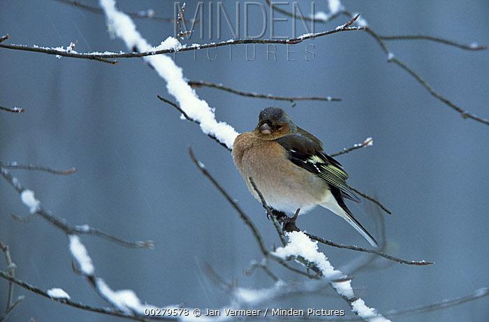 Chaffinch (Fringilla coelebs) male on snow covered branch, Europe  -  Jan Vermeer