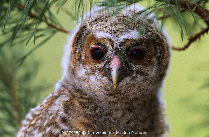 Tawny Owl (Strix aluco) owlet portrait, Europe  -  Jan Vermeer