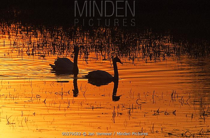 Mute Swan (Cygnus olor) pair swimming in evening light, Europe  -  Jan Vermeer