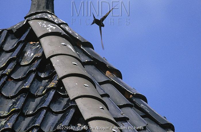 Common Swift (Apus apus) flying over rooftop, Europe  -  Flip de Nooyer