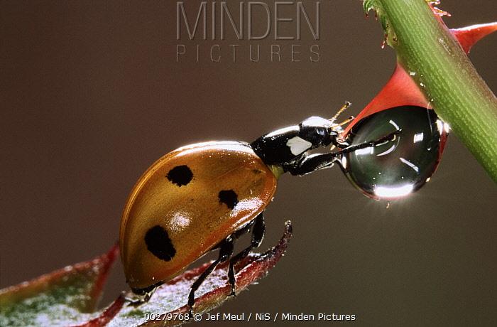 Seven-spotted Ladybird (Coccinella septempunctata) drinking from raindrop, Europe  -  Jef Meul/ NIS