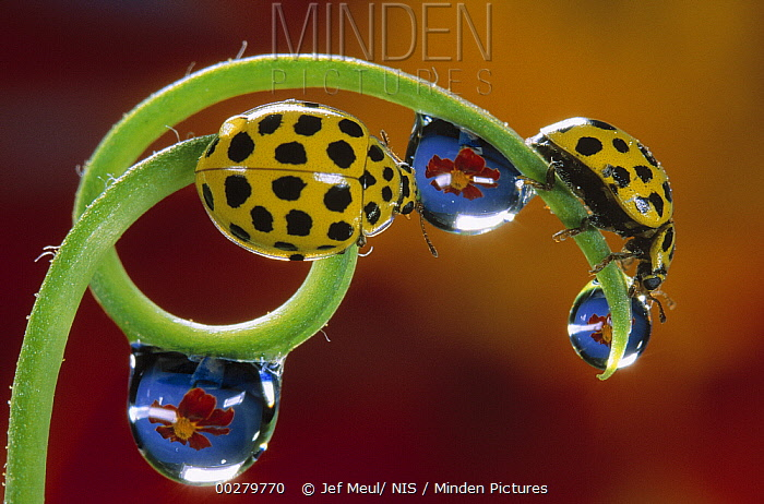 22-spot Ladybird (Psyllobora vigintiduopunctata) pair on plant tendril drinking from raindrops with flowers reflected in them, Belgium  -  Jef Meul/ NIS
