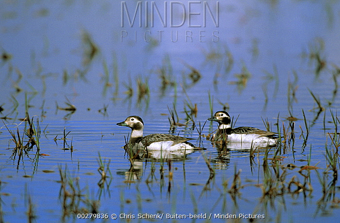 Long-tailed Duck (Clangula hyemalis) pair in lake, Siberia  -  Chris Schenk/ Buiten-beeld