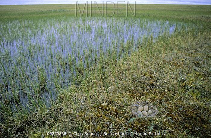 Spectacled Eider (Somateria fischeri) five eggs in downy ground nest next to seasonal pond, Siberia  -  Chris Schenk/ Buiten-beeld