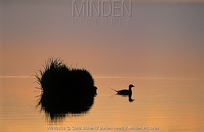 Long-tailed Duck (Clangula hyemalis) male silhouetted on lake next to Tussock Island, Siberia  -  Chris Schenk/ Buiten-beeld