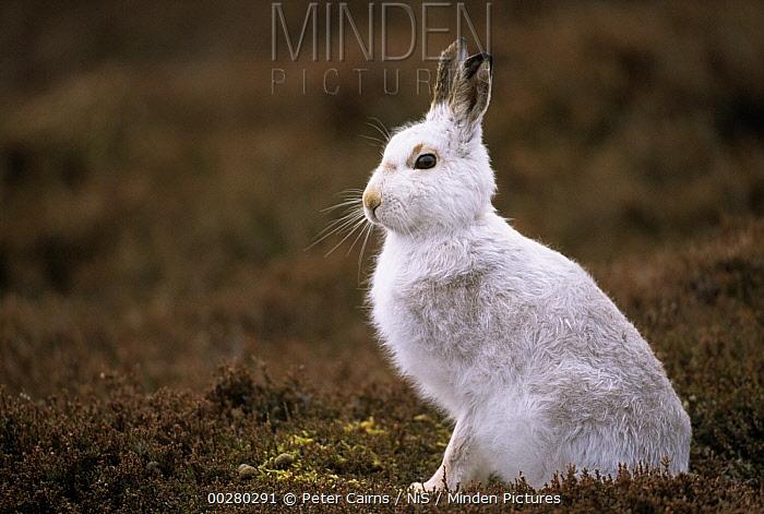 Arctic Hare (Lepus arcticus) in winter coat on tundra  -  Peter Cairns/ NiS