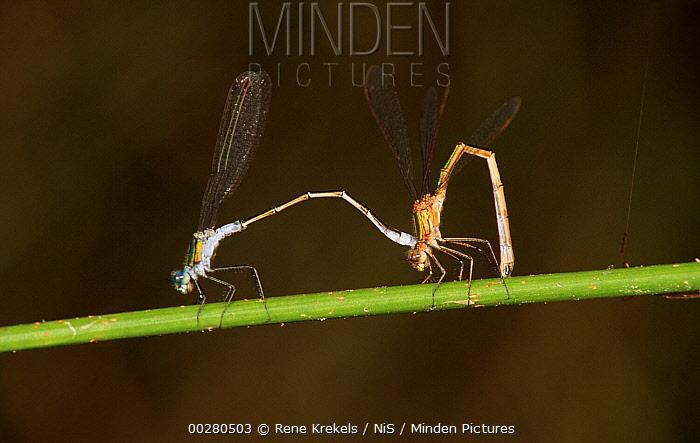 Emerald Damselfly (Lestes sponsa) tandem pair, western Europe  -  Rene Krekels/ NIS