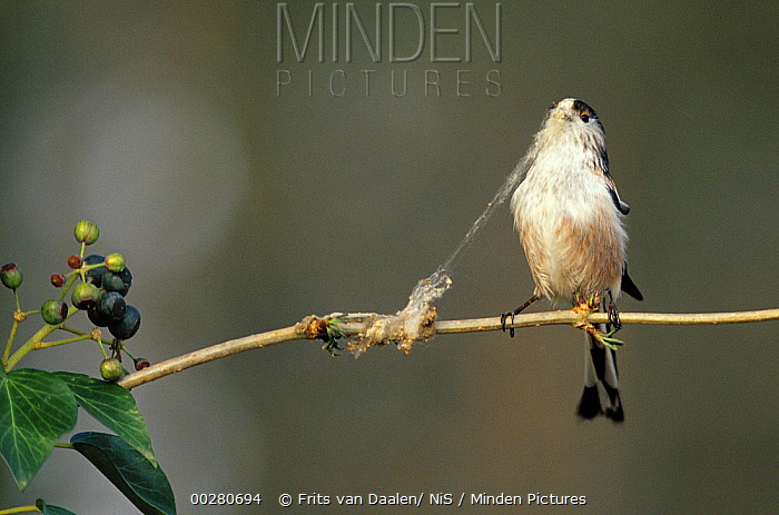 Long-tailed Tit (Aegithalos caudatus) collecting nest material, Europe  -  Frits van Daalen/ NiS
