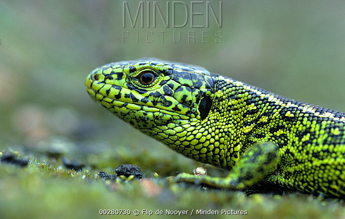 Sand Lizard (Lacerta agilis) close up, Europe  -  Flip de Nooyer