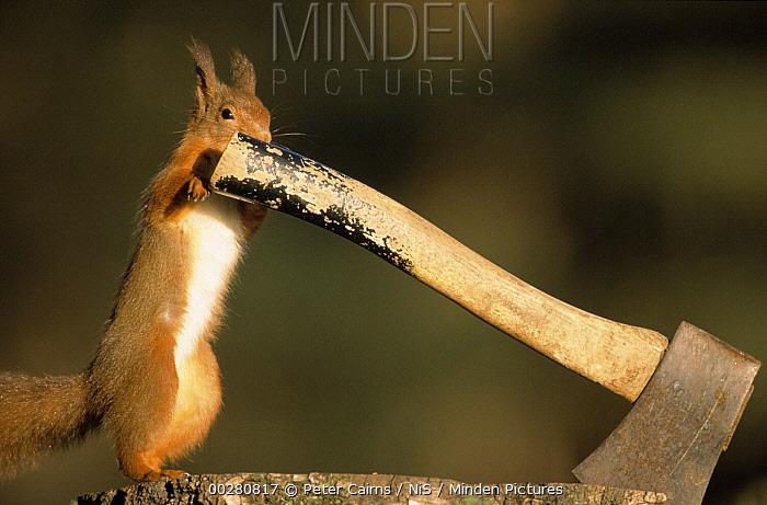 Eurasian Red Squirrel (Sciurus vulgaris) investigating an axe handle, Europe  -  Peter Cairns/ NiS