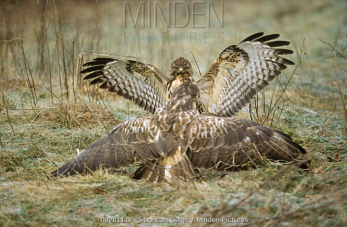 Common Buzzard (Buteo buteo) pair on ground, Europe  -  Duncan Usher