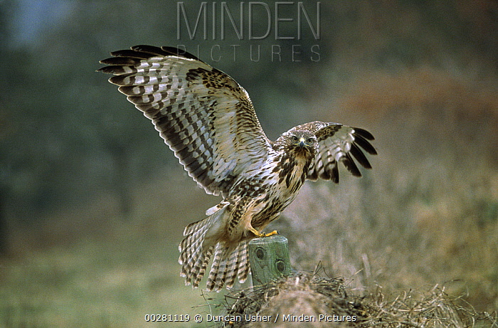 Common Buzzard (Buteo buteo) with wings outstretched, Europe  -  Duncan Usher