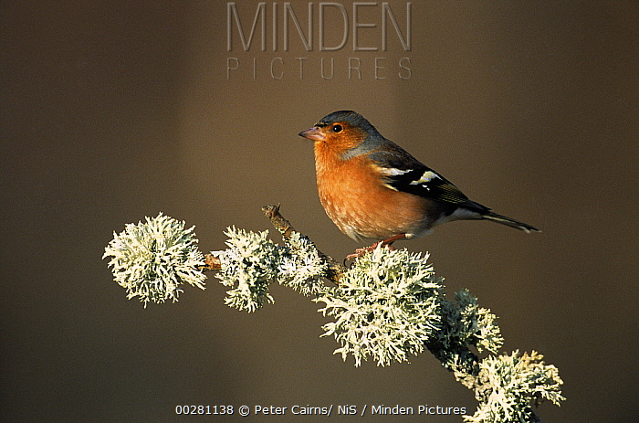 Chaffinch (Fringilla coelebs) on lichen covered branch, Europe  -  Peter Cairns/ NiS