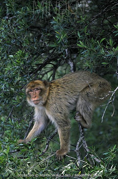 Barbary Macaque (Macaca sylvanus) in tree  -  Martin Woike/ NiS