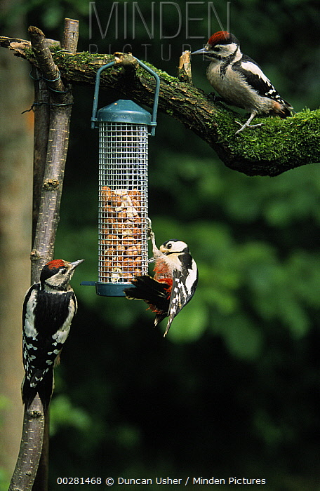 Great Spotted Woodpecker (Dendrocopos major) three at feeder in winter, Europe  -  Duncan Usher