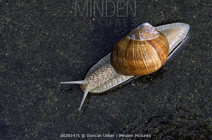 Edible Snail (Helix pomatia) is source of escargot, Europe  -  Duncan Usher