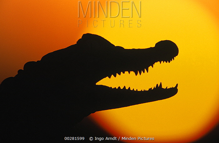 Broad-snouted Caiman (Caiman latirostris) silhouetted against setting sun  -  Ingo Arndt
